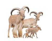 Barbary sheep family. Isolated on white background royalty free stock image