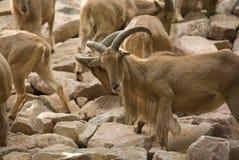 A barbary sheep flock Royalty Free Stock Photography