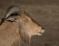Barbary sheep head Royalty Free Stock Image