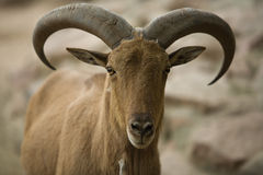 Barbary sheep head Stock Images