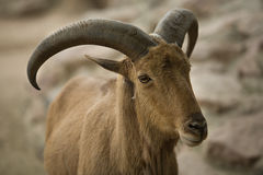 Barbary sheep horns Stock Images