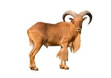 Barbary sheep Stock Images