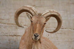 Barbary sheep. Looking to the camera Royalty Free Stock Images