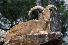 Barbary sheep male stock photos