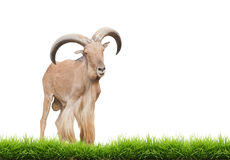 Barbary sheep. Male barbary sheep isolated on white background stock photos