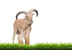 Barbary sheep Stock Photos