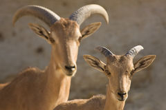 Barbary Sheep mother and baby stock images