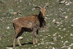 Barbary sheep or Mouflon, Ammotragus lervia Royalty Free Stock Images