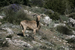 Barbary sheep or Mouflon, Ammotragus lervia Stock Images