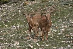 Barbary sheep or Mouflon, Ammotragus lervia Stock Image