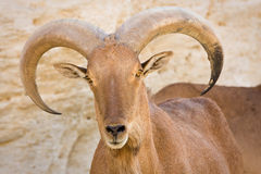 Barbary Sheep portrait stock photos