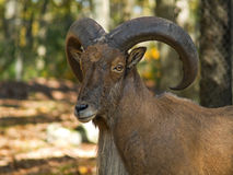Barbary Sheep Portrait Royalty Free Stock Image