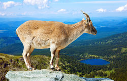 Barbary sheep  on rock Stock Image