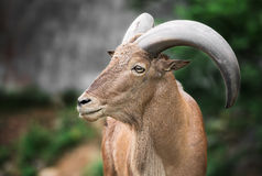 Barbary sheep Stock Photo