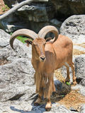 Barbary Sheep Stand On Cliff Royalty Free Stock Photos