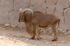 A Barbary Sheep stands proudly showing off its impressive horns Ammotragus lervia royalty free stock photography