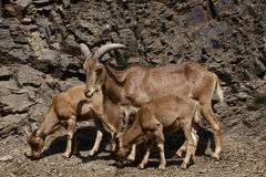 Barbary sheep with sucklings Stock Images