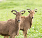 Barbary sheep Royalty Free Stock Images