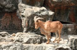 Barbary sheep,  useful for various wild animal con Stock Photos
