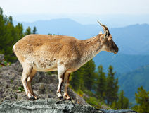 Barbary sheep  in wildness. Area Stock Images