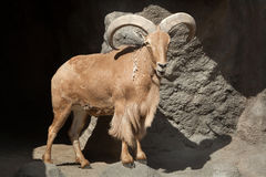 Free Barbary Sheep & X28;Ammotragus Lervia& X29;. Royalty Free Stock Photos - 95817468