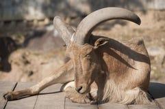 Barbary sheep. Stock Photos