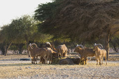 Barbary sheeps Stockfoto
