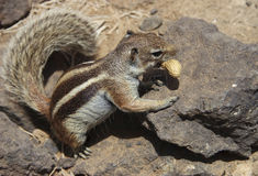 Barbary Squirrel Stock Image