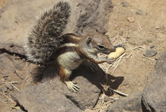 Barbary Squirrel Royalty Free Stock Photos