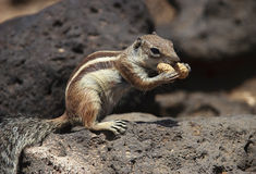 Barbary Squirrel Stock Photos