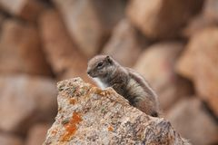 Barbary squirrel on the rock Stock Images