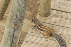 Barbary Squirrel Royalty Free Stock Photography
