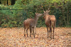 Barbary stag Royalty Free Stock Images
