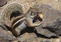 barbary wiewiórka Obraz Stock