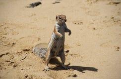 Barbary Zmielona wiewiórka Fotografia Stock