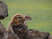 Barbary zmielona wiewiórka na Hiszpańskiej wyspie Fuerteventura Zdjęcia Royalty Free