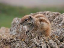 Barbary zmielona wiewiórka na Hiszpańskiej wyspie Fuerteventura Zdjęcie Stock