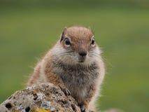 Barbary zmielona wiewiórka na Hiszpańskiej wyspie Fuerteventura Obrazy Stock