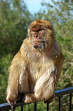 Barbary1. Barbary macaque (macaca sylvanic) monkey from Gibraltar Royalty Free Stock Images