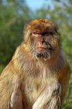 Barbary2. Barbary macaque (macaca sylvanic) monkey from Gibraltar Stock Photo