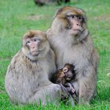 BarbaryMacaque Stockbild