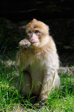 BarbaryMacaque Stockbilder