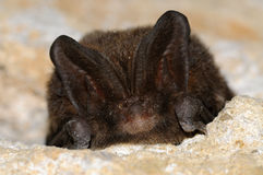 The barbastelle bat, Barbastella barbastellus royalty free stock photo