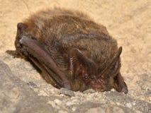 The barbastelle bat Barbastella barbastellus, western barbastelle. Hibernation Royalty Free Stock Photo
