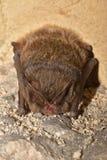 The barbastelle bat Barbastella barbastellus, western barbastelle hibernation. Stock Photo