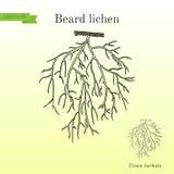 Barbata van Usnea van het baardkorstmos, of boommos royalty-vrije illustratie