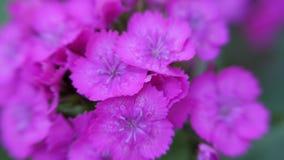 Barbatus гвоздики Пурпурный турецкий цветка гвоздики пошатывает в ветре сток-видео