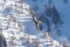 Barbatus adulto del gypaetus del buitre barbudo en vuelo, bosque, sno Foto de archivo