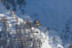 Barbatus adulto del gypaetus del buitre barbudo en vuelo, bosque, sno Fotografía de archivo libre de regalías