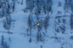 Barbatus adulto del gypaetus del buitre barbudo en vuelo, bosque, sno Imagenes de archivo